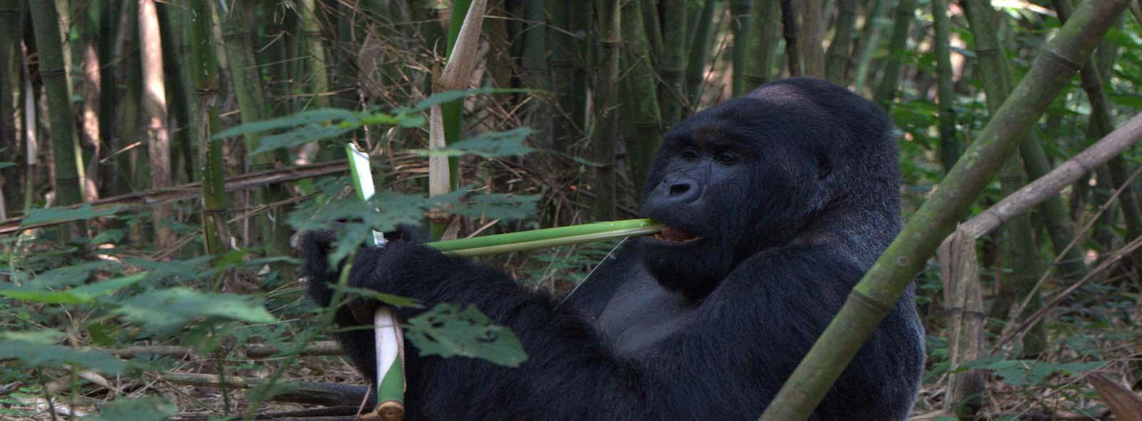 Mountain Gorillas trekking