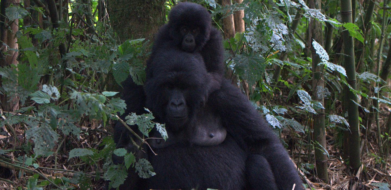Lowland Gorillas tour